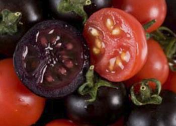 Противораковые фиолетовые помидоры