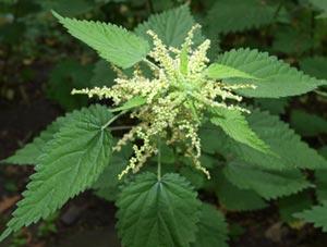 Лечение рака крапивой: жгучая зелень от 100 болезней